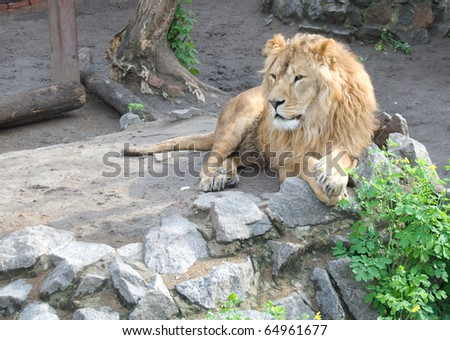 Lion laying on the rocks and looking somewhere
