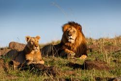 Lion Lipstick with his favorite Lioness in Masai Mara, Kenya