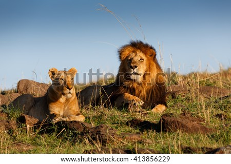 Lion Lipstick with his favorite Lioness in Masai Mara, Kenya