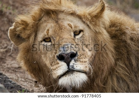 Lion looking at camera in Masai Mara National Park in Kenya, Africa.