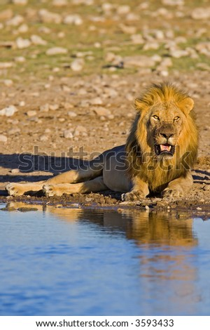 Lion lying at waterhole; panthera leo; South Africa