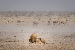 Lion lying down being watched by herbivores