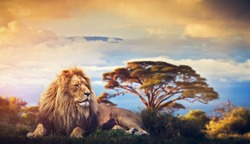 Lion lying in grass on savanna. Sunset over Mount Kilimanjaro. Safari in Africa