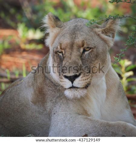 Lion lying in shade on red soil #437129149