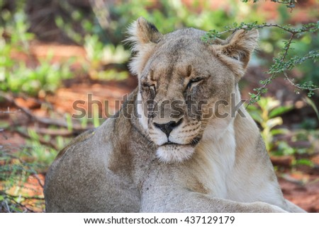 Lion lying in shade on red soil #437129179