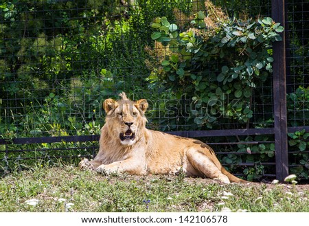 lion lying on the grass in safari park