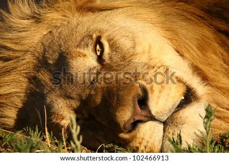 Lion male close up - stock photo