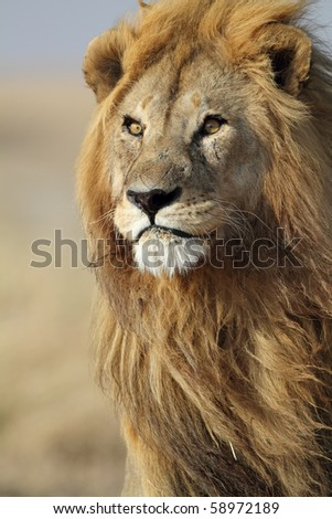 Lion male in his pride, Serengeti, Tanzania