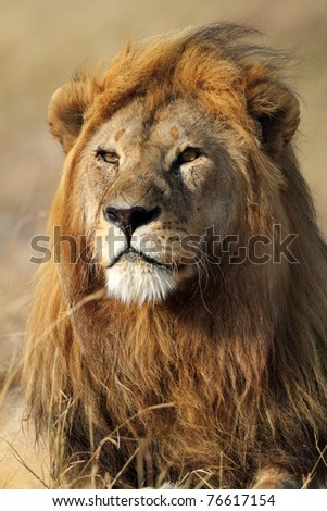 Lion male looking into the horizon, Serengeti National Park, Tanzania