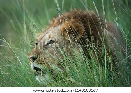 lion male roaring in the wilderness. #1143103169