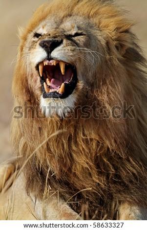 Lion male showing teeth, Serengeti, Tanzania