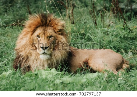 Lion male sleeping in the green grass.
