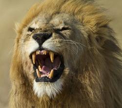 Lion male yawning, Serengeti National Park