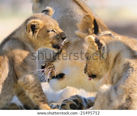 Lion mother and cubs