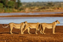 Lion mother and her two daughters like to drink in Samburu National Reserve, Kenya