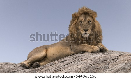 Lion On