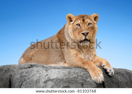 Lion on a rock against the blue sky