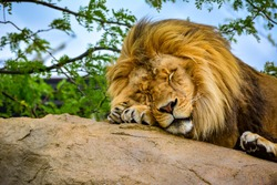 Lion on a Rock. Lion Sleeping. King of the Jungle.