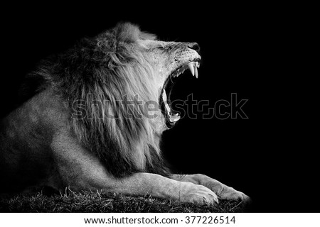 stock photo lion on dark background black and white image 377226514 - Каталог — Фотообои «Животные»