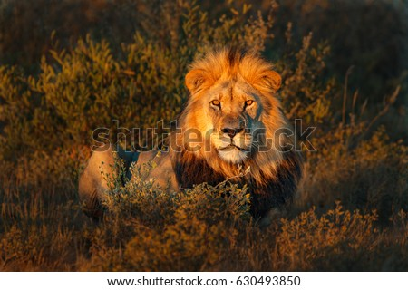 Lion(Panthera leo) #630493850