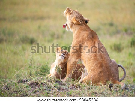 Lion (panthera leo) cub sitting with his mother in savannah in South Africa