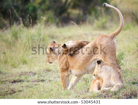 Lion (panthera leo) cubs playing with their mother in savannah in South Africa