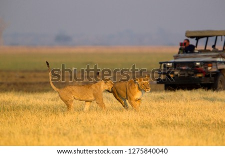 Lion (Panthera leo), eating, Savuti, Chobe National Park, Botswana.
