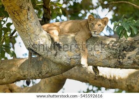 Lion (Panthera leo) - Nap Interrupted