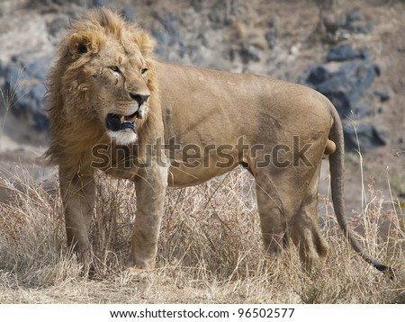 Lion, Phantera leo
