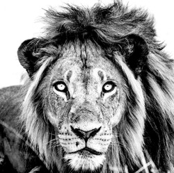 Lion Portrait Black and White
