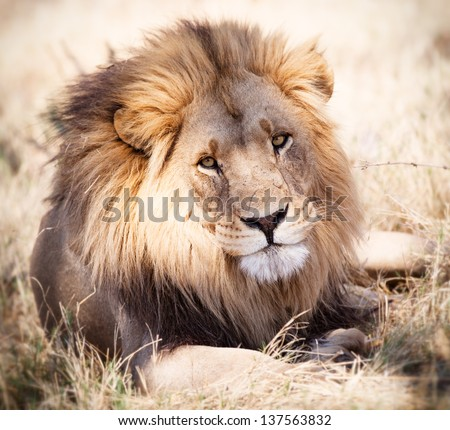 Lion portrait looking straight ahead