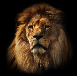 Lion portrait on black background. Big adult lion with rich mane.