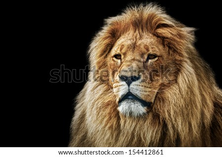 Lion portrait on black background Big adult lion with rich mane