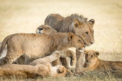 Lion pride bonding showing affection with flies around their faces in Masai Mara Kenya