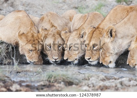 Lion pride drinking water