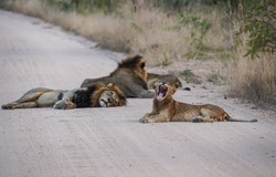 Lion pride is walking and sleeping in the middle of of the road in National Park Kruger, South Africa.