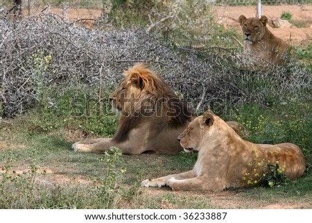 Lion pride lying in the shade