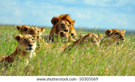 ... Lion Pride soaking up the sun in Serengeti National Park, Tanzania