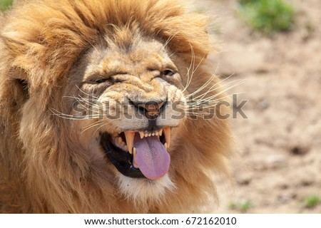 Lion pulling a funny face. Animal tongue and canine teeth. Dangerous killer instinct and look of disgust. Humorous meme image of a top predator taunting or with a bas taste left in the mouth.