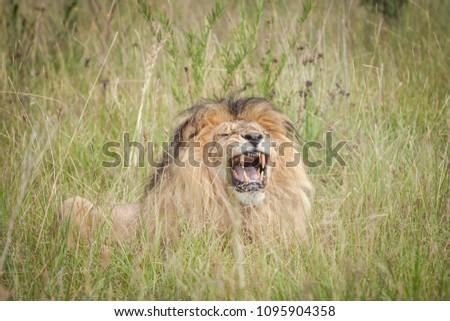 Lion roar at the park #1095904358