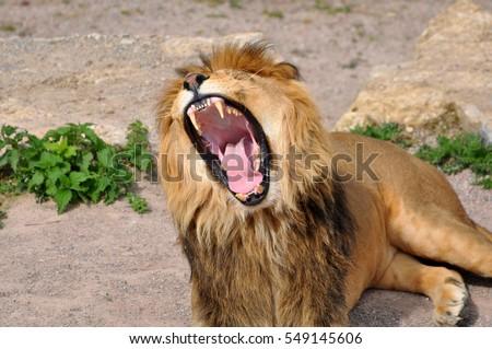 Lion roaring #549145606