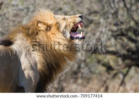 Lion roaring  #709177414