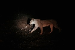 Lion roaring at night with car headlights illuminating it from the dark background. Shot in the south of africa in Kruger National Park, South Africa on a summer night.
