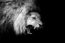 Lion - ROARING LION in black and white