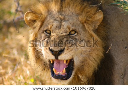 Lion roaring to the camera #1016967820