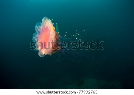 lion's mane jellyfish under water in sea of japan, Russia