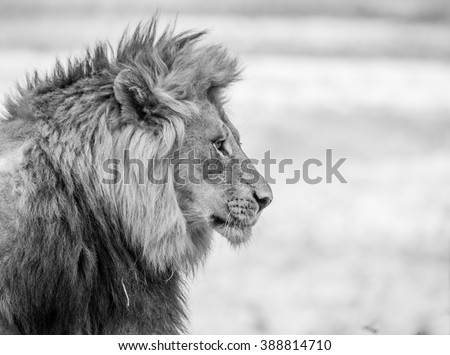 Lion side profile in black white