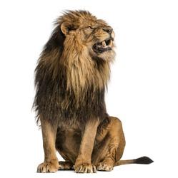 Lion sitting, roaring, Panthera Leo, 10 years old, isolated on white