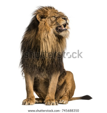 Lion sitting, roaring, Panthera Leo, 10 years old, isolated on white #745688350