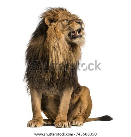 lion sitting  roaring  panthera ...